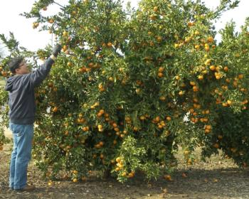 The objectives of the UCR citrus breeding program are to develop and  release new citrus cultivars that are useful in California. 2453b1a1075